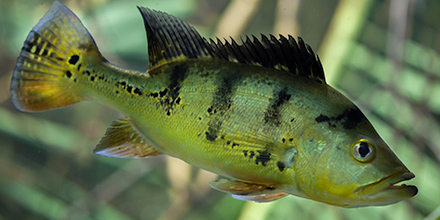 Peacock Bass Florida